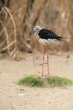 Black-necked stilt Stock Images