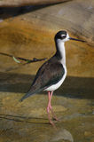 Black-necked Stilt Royalty Free Stock Photos