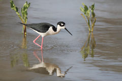 Black-necked Stilt Wading in a Pond Royalty Free Stock Photography