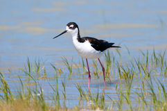 Black-necked Stilt, walking in a Marsh. Oregon, USA Royalty Free Stock Photography