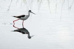 Black-necked stilt Royalty Free Stock Images