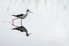 Black-necked stilt Royalty Free Stock Images
