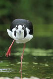 Black-necked stilt Royalty Free Stock Photography