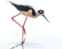 Black necked stilt. Water bird with long, stilt-like pink legs and distinctive two tone body Royalty Free Stock Photos