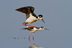 Black-necked Stilts Stock Image