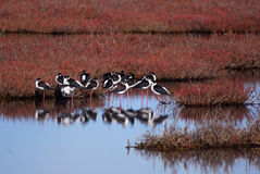 Black Necked Stilts Royalty Free Stock Photo