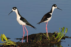Black-necked Stilts (Himantopus mexicanus) Stock Images