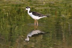 Black-necked Stilts (Himantopus mexicanus) Stock Photography