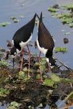 Black-necked Stilts (Himantopus mexicanus) Stock Photo