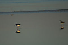Black-necked Stilts patrolling the Salton Sea shallows Stock Image