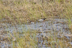 Black Necked Stilts in a Wetland Royalty Free Stock Image