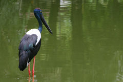 Black Necked Stork. On the green lake Royalty Free Stock Images