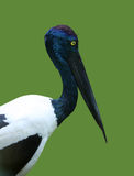 Black necked stork Stock Image