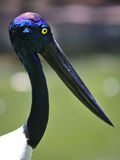 Black-necked stork Royalty Free Stock Images