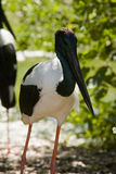 Black-necked stork Royalty Free Stock Photos
