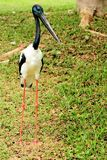 Black-necked stork bird Stock Image