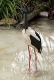 Black-necked stork Royalty Free Stock Photography