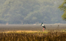 Black Necked stork Stock Photos