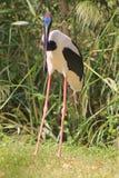 Black-necked stork  (Ephippiorhynchus asiaticus) Stock Images
