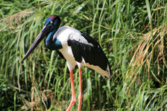 Black-necked stork (Ephippiorhynchus asiaticus) Royalty Free Stock Image
