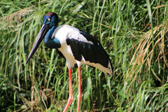 Black-necked stork (Ephippiorhynchus asiaticus) Royalty Free Stock Images