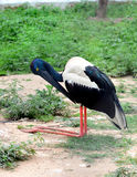 Black necked stork Royalty Free Stock Images
