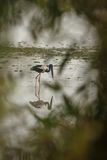 Black necked stork hunt in the lake in Kaziranga royalty free stock photo