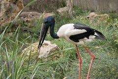Black-necked stork Stock Photography