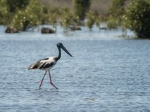Black necked Stork often known as a Jabiru stock images