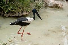Black-necked stork Royalty Free Stock Photos