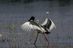 Black Necked Stork With Wings Outstretched. A Black Necked Stork ephippiorhynchus asiaticuc is walking through the water lilies of a lagoon with outstretched royalty free stock photos
