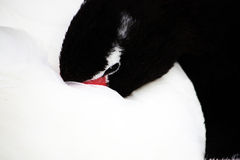 Black-necked swan Stock Photography