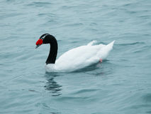 Black necked swan Stock Photography