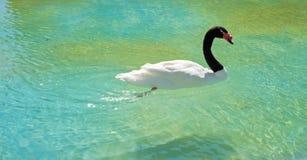 Black-necked swan Stock Photos