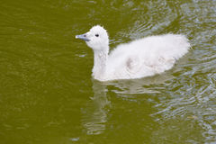 Black-Necked Swan Chick Swimming Stock Image