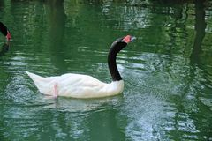 Black-necked Swan Stock Images