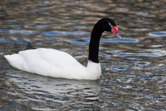 Black-necked Swan, Cygnus melancoryphus Stock Photos