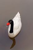 Black Necked Swan Stock Image
