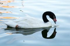 Black Necked Swan looking for food royalty free stock photos