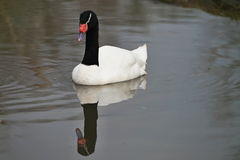 Black-necked swan on the pond. Stock Image