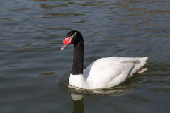 Black Necked Swan Royalty Free Stock Photos