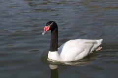 Black Necked Swan Royalty Free Stock Photos