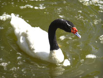 Black-necked Swan swimming in apond. Stock Photo