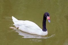 Black-necked swan swimming on lake. A black-necked swan is swimming on lake royalty free stock photography