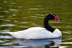 Black necked swan, swimming in North West wetlands. royalty free stock photography