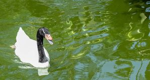 Black-Necked Swan Swimming Above Side Profile royalty free stock images