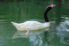 Black-necked Swan Royalty Free Stock Photography