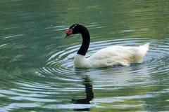 Black-necked Swan Stock Photography