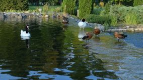 Black necked swans and ruddy shelducks in pond. Black necked swans and ruddy shelducks clean their feathers, then two swans swim away in a beautiful pond stock footage