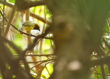 A Black-necked Weaver in dense forest Stock Photo